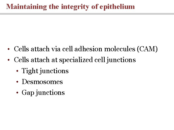 Maintaining the integrity of epithelium • Cells attach via cell adhesion molecules (CAM) •