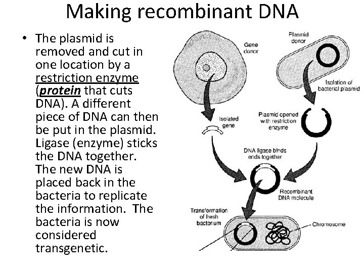 Making recombinant DNA • The plasmid is removed and cut in one location by