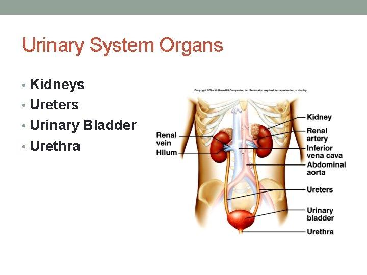 Urinary System Organs • Kidneys • Ureters • Urinary Bladder • Urethra