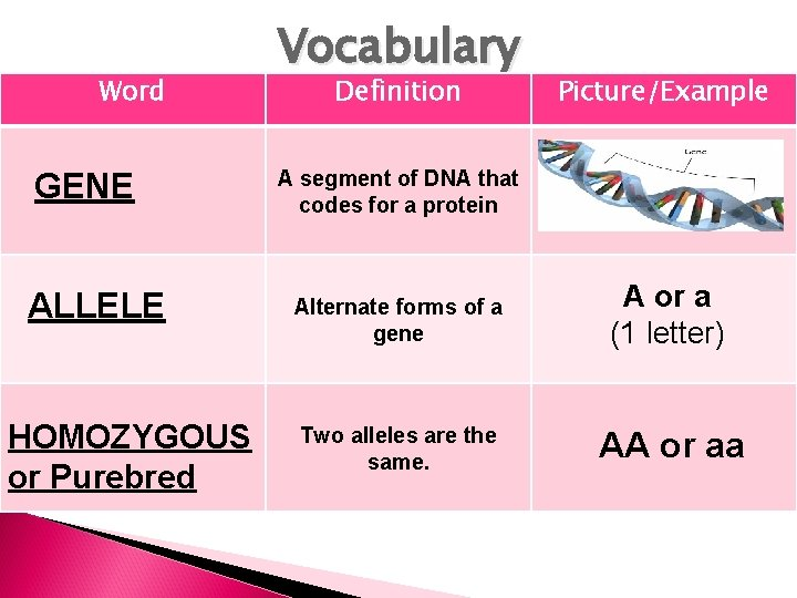 Word GENE ALLELE HOMOZYGOUS or Purebred Vocabulary Definition Picture/Example A segment of DNA that