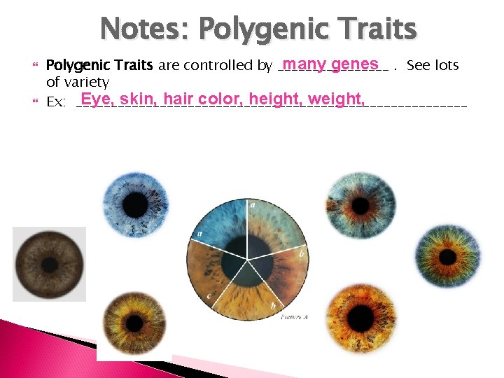 Notes: Polygenic Traits many genes. See lots Polygenic Traits are controlled by ________ of