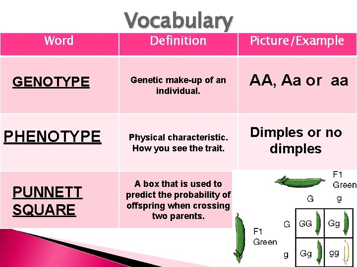 Word GENOTYPE PHENOTYPE PUNNETT SQUARE Vocabulary Definition Picture/Example Genetic make-up of an individual. AA,