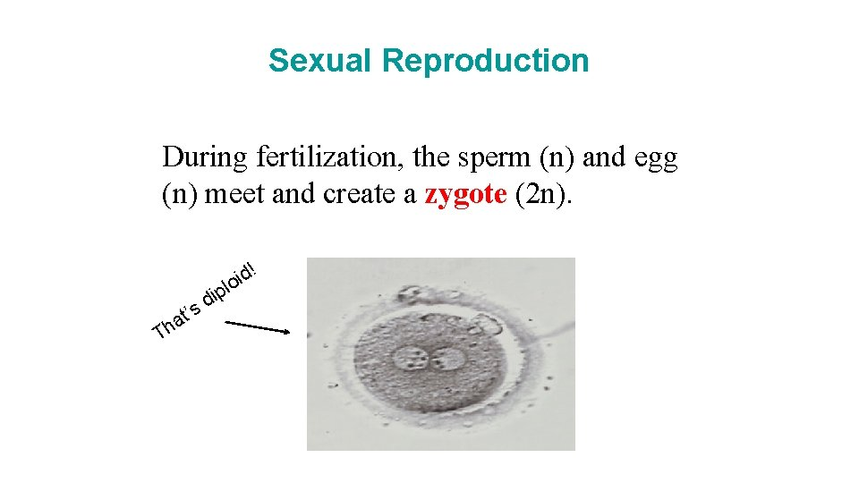 Sexual Reproduction During fertilization, the sperm (n) and egg (n) meet and create a