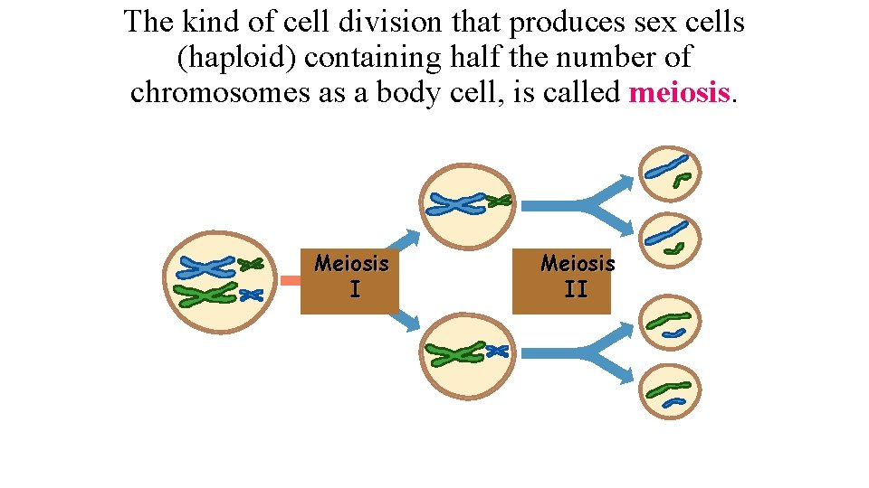 The kind of cell division that produces sex cells (haploid) containing half the number