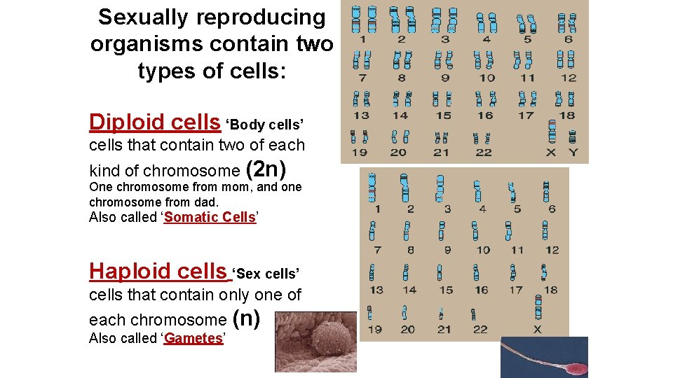 Sexually reproducing organisms contain two types of cells: Diploid cells 'Body cells' cells that