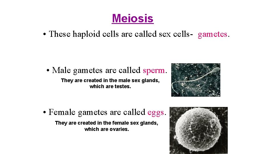 Meiosis • These haploid cells are called sex cells- gametes. • Male gametes are