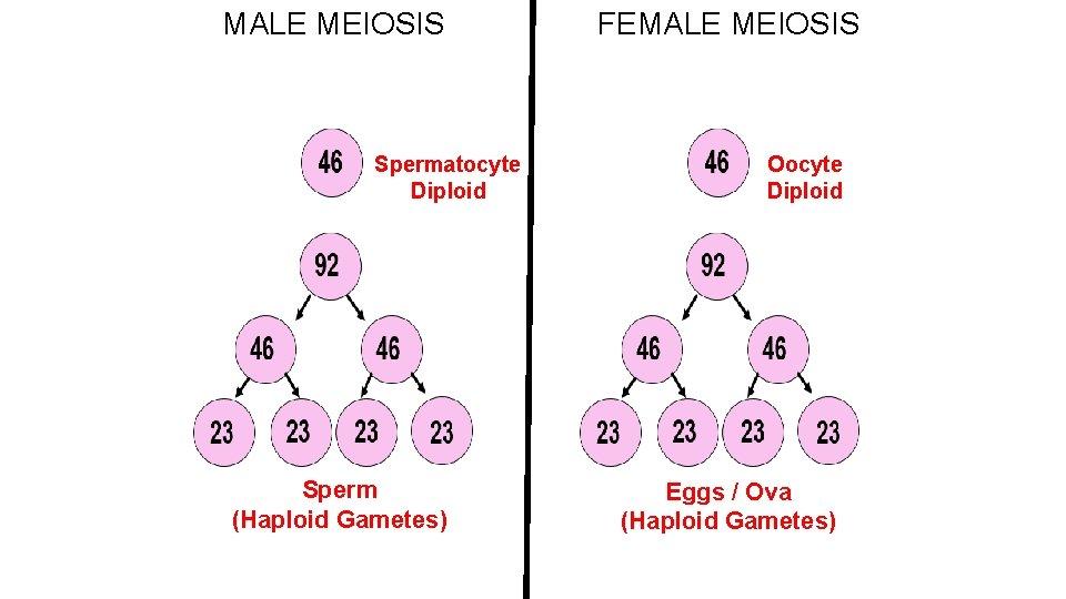 MALE MEIOSIS Spermatocyte Diploid Sperm (Haploid Gametes) FEMALE MEIOSIS Oocyte Diploid Eggs / Ova