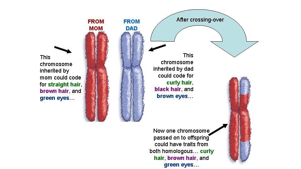 FROM MOM This chromosome inherited by mom could code for straight hair, brown hair,