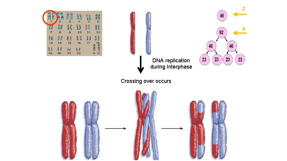 2 4 DNA replication during Interphase Crossing over occurs