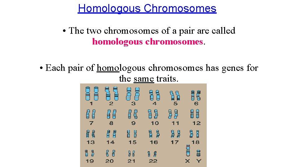 Homologous Chromosomes • The two chromosomes of a pair are called homologous chromosomes. •