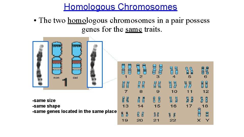 Homologous Chromosomes • The two homologous chromosomes in a pair possess genes for the