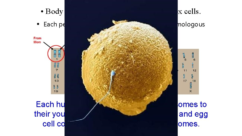 • Body cells (diploid) are different from sex cells. • Each person can