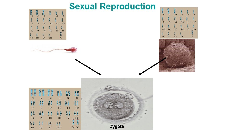 Sexual Reproduction Zygote
