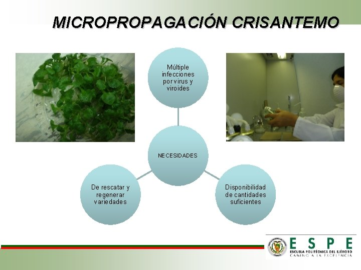 MICROPROPAGACIÓN CRISANTEMO Múltiple infecciones por virus y viroides NECESIDADES De rescatar y regenerar variedades