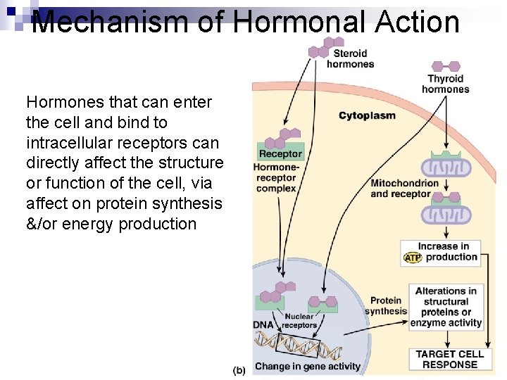 Mechanism of Hormonal Action Hormones that can enter the cell and bind to intracellular