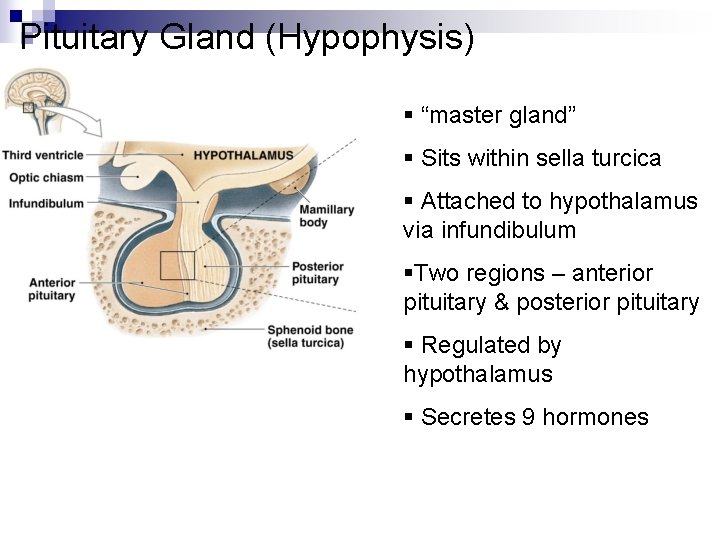 """Pituitary Gland (Hypophysis) § """"master gland"""" § Sits within sella turcica § Attached to"""