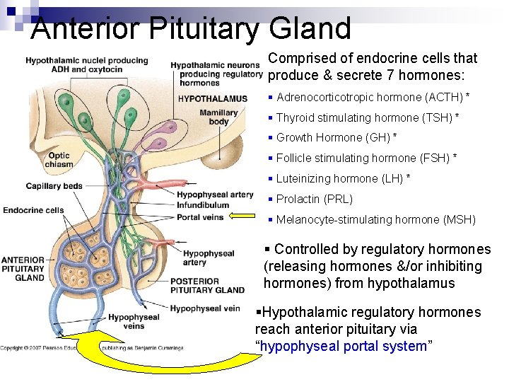 Anterior Pituitary Gland Comprised of endocrine cells that produce & secrete 7 hormones: §