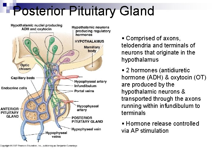Posterior Pituitary Gland § Comprised of axons, telodendria and terminals of neurons that originate