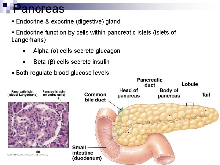 Pancreas § Endocrine & exocrine (digestive) gland § Endocrine function by cells within pancreatic