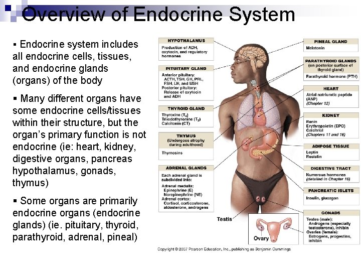 Overview of Endocrine System § Endocrine system includes all endocrine cells, tissues, and endocrine