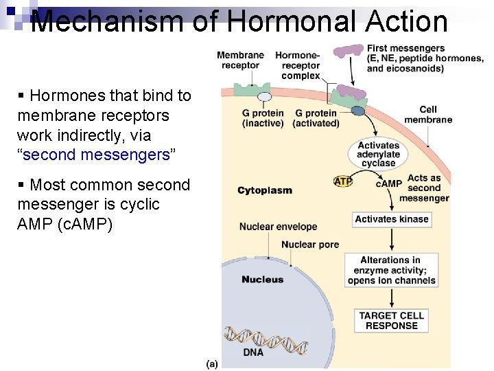 Mechanism of Hormonal Action § Hormones that bind to membrane receptors work indirectly, via