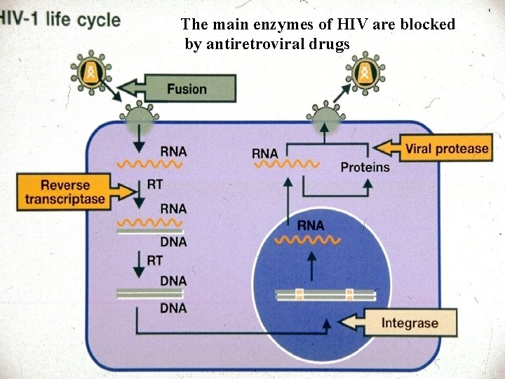 The main enzymes of HIV are blocked by antiretroviral drugs