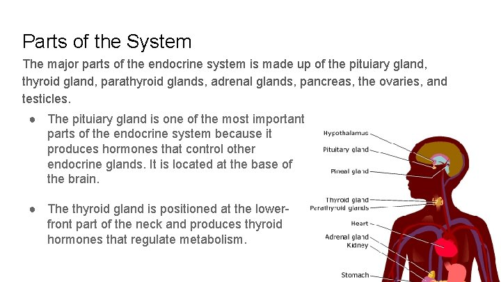 Parts of the System The major parts of the endocrine system is made up