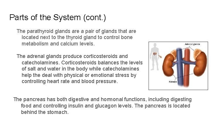 Parts of the System (cont. ) The parathyroid glands are a pair of glands
