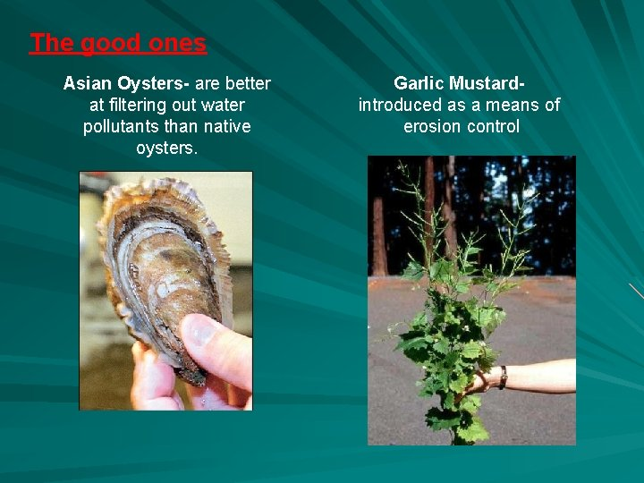The good ones Asian Oysters- are better at filtering out water pollutants than native