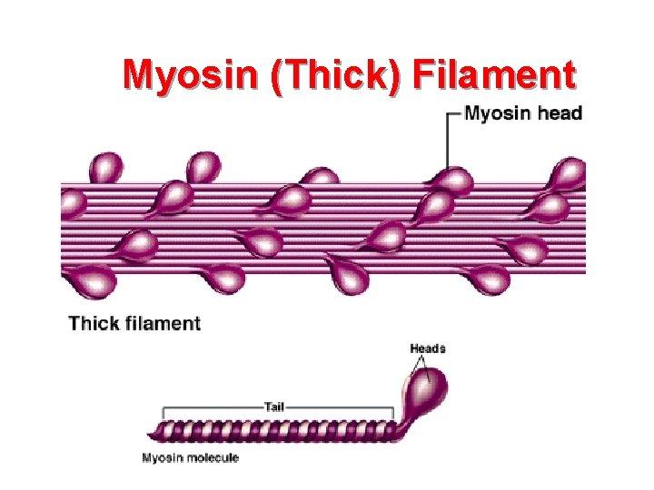 Myosin (Thick) Filament