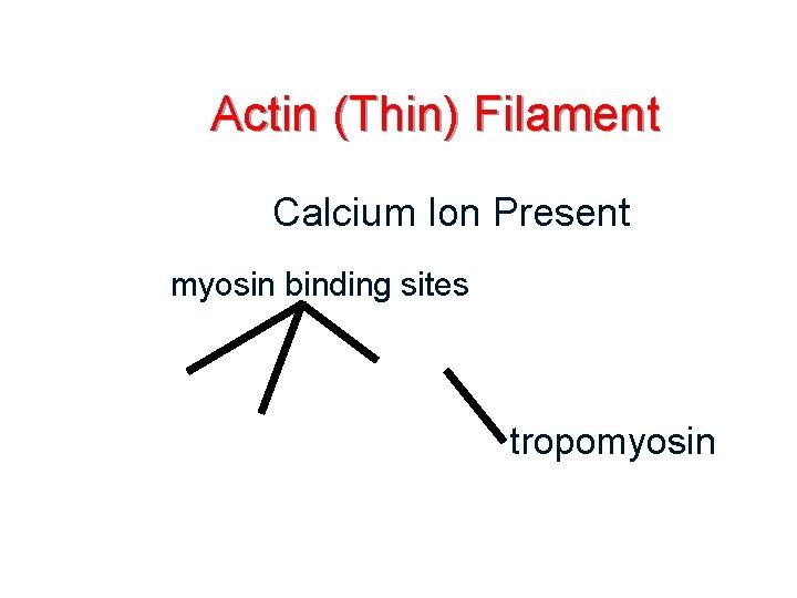 Actin (Thin) Filament Calcium Ion Present myosin binding sites tropomyosin