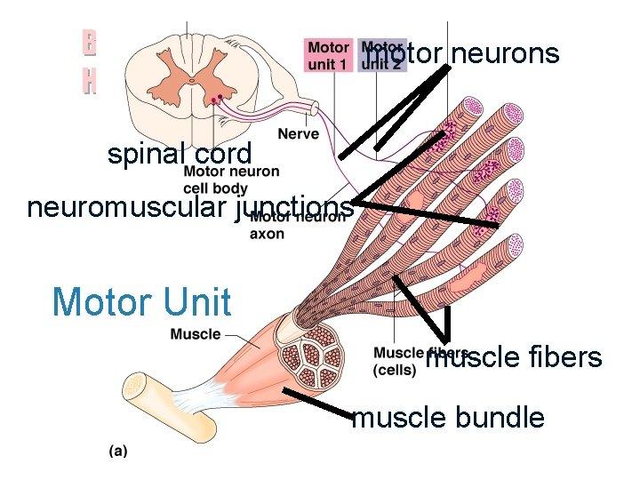 Biology 100 Human Biology motor neurons spinal cord neuromuscular junctions Motor Unit muscle fibers