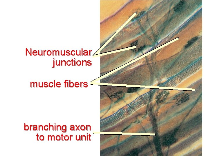Neuromuscular junctions muscle fibers branching axon to motor unit