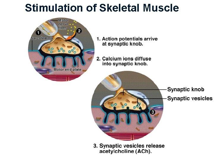 Stimulation of Skeletal Muscle