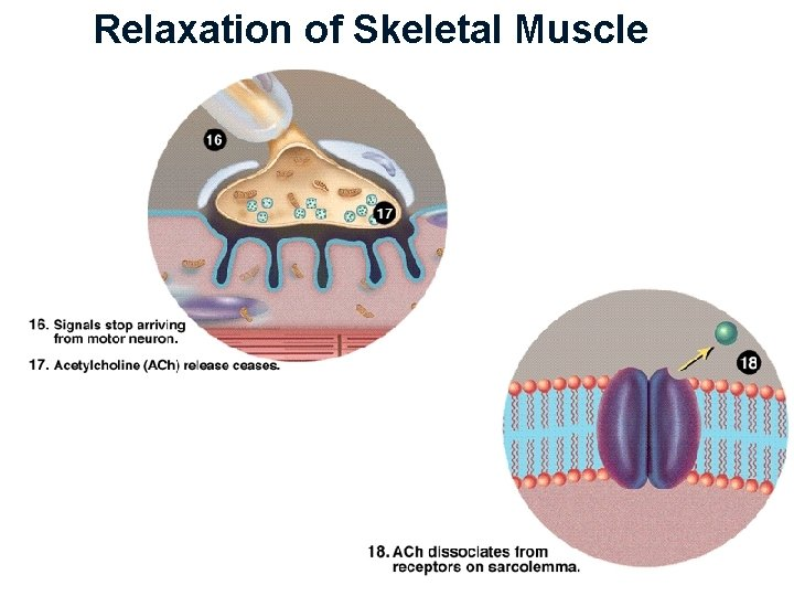 Relaxation of Skeletal Muscle