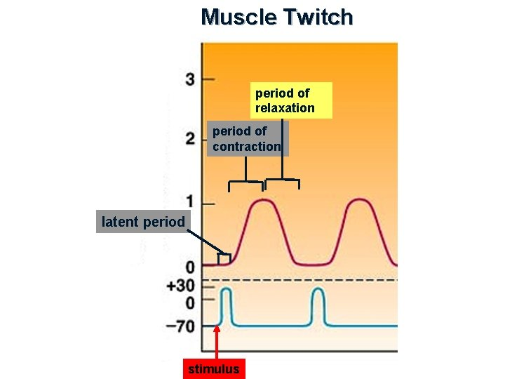 Muscle Twitch period of relaxation period of contraction latent period stimulus