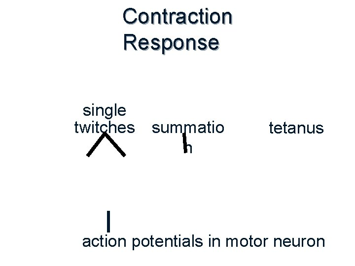 Contraction Response single twitches summatio n tetanus action potentials in motor neuron