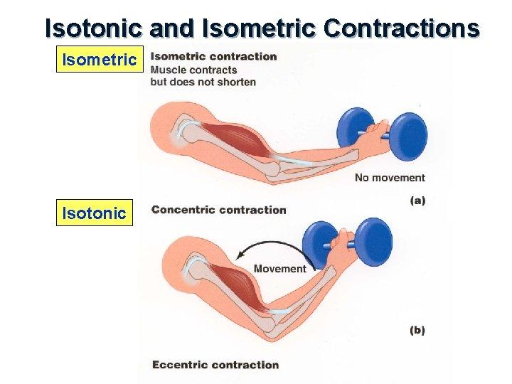 Isotonic and Isometric Contractions Isometric Isotonic