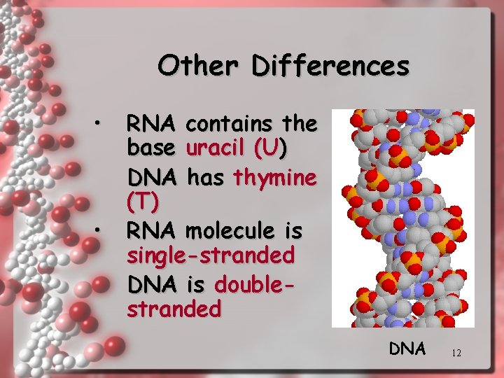 Other Differences • • RNA contains the base uracil (U) DNA has thymine (T)