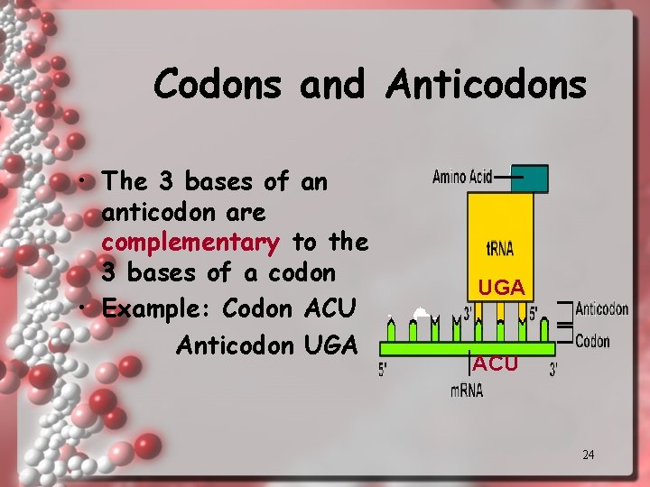 Codons and Anticodons • The 3 bases of an anticodon are complementary to the