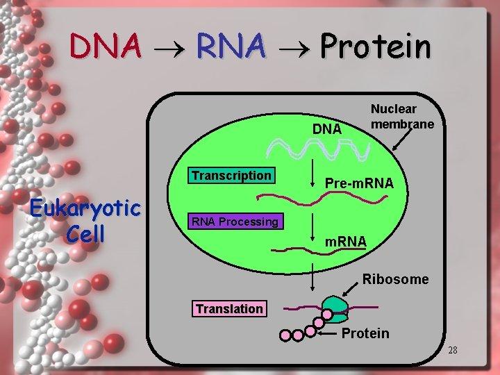 DNA RNA Protein Nuclear membrane DNA Transcription Eukaryotic Cell Pre-m. RNA Processing m. RNA