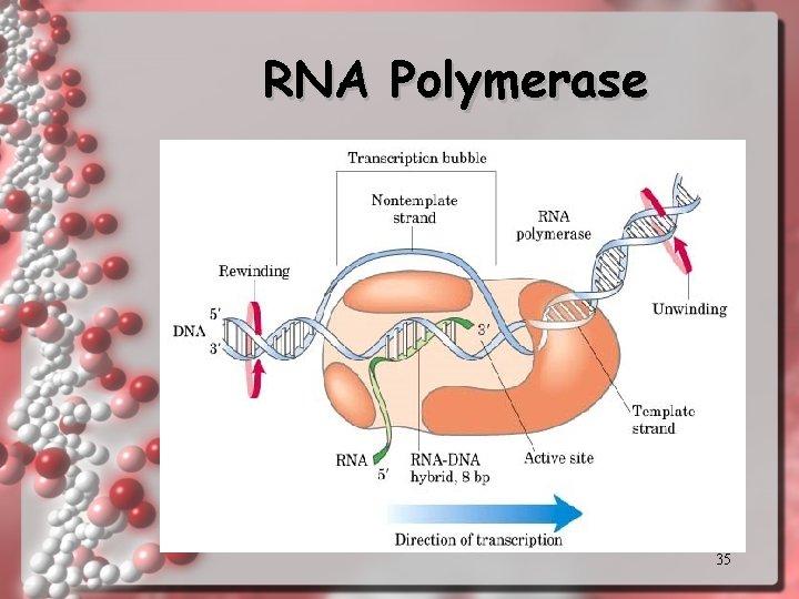 RNA Polymerase 35