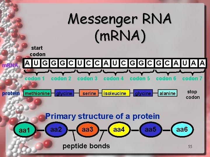 Messenger RNA (m. RNA) start codon m. RNA A U G G G C