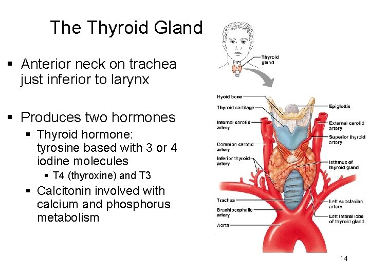 The Thyroid Gland § Anterior neck on trachea just inferior to larynx § Produces