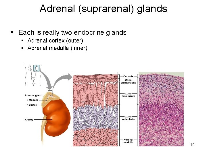 Adrenal (suprarenal) glands § Each is really two endocrine glands § Adrenal cortex (outer)