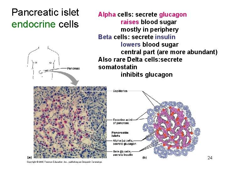 Pancreatic islet endocrine cells Alpha cells: secrete glucagon raises blood sugar mostly in periphery