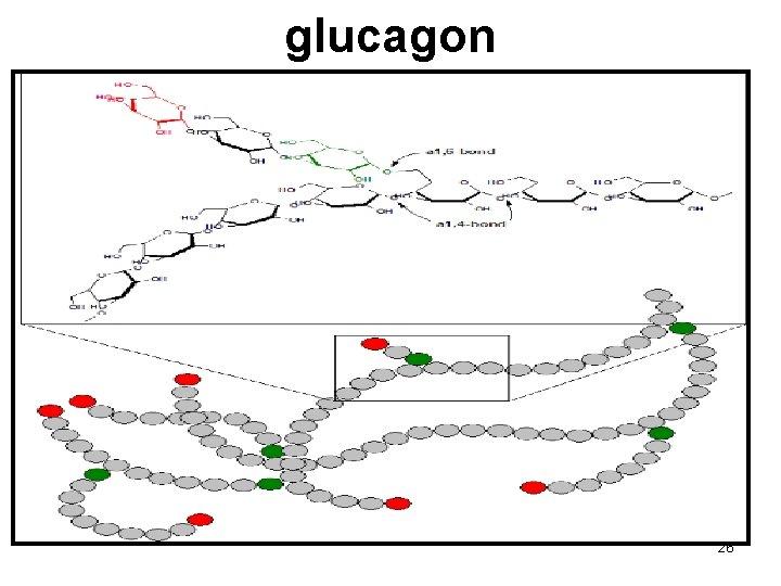 glucagon 26