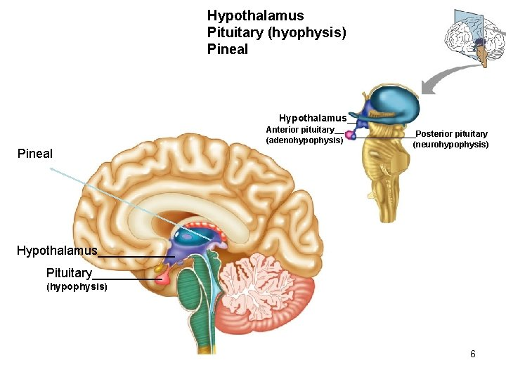 Hypothalamus Pituitary (hyophysis) Pineal Hypothalamus__ Anterior pituitary__ (adenohypophysis) Pineal _______Posterior pituitary (neurohypophysis) Hypothalamus______ Pituitary_____