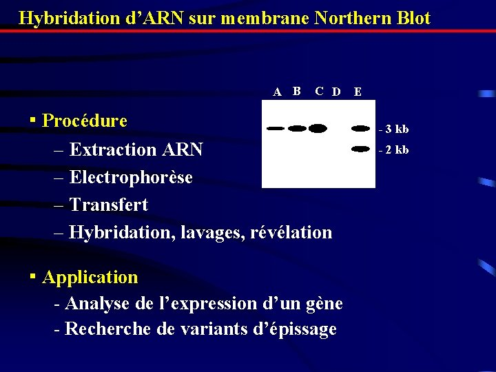 Hybridation d'ARN sur membrane Northern Blot AA B CC D ▪ Procédure – Extraction
