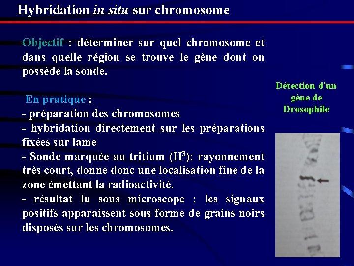 Hybridation in situ sur chromosome Objectif : déterminer sur quel chromosome et dans quelle